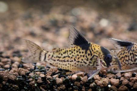 A close up of an armored catfish in an aquarium. Reklamní fotografie