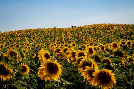 Beautiful yellow sunflowers blooming in a field. Standard-Bild