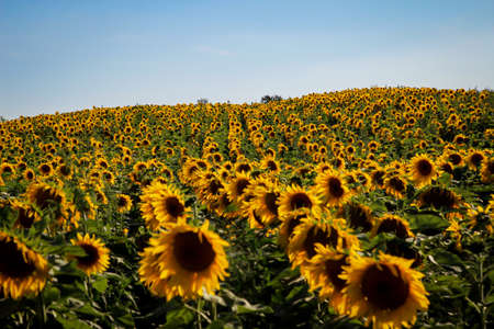 Beautiful yellow sunflowers blooming in a field.