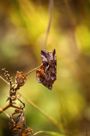 A gamma owl, an owl butterfly on a dry plant.
