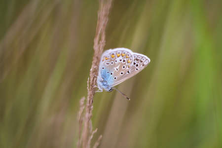 Close-up of a blue, moth, butterfly on a blade of grass. 版權商用圖片
