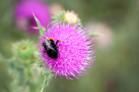 A bumblebee sits on a milk thistle and collects pollen