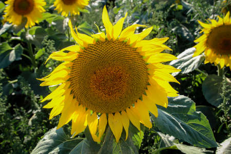Sunflowers growing in a field stretch their flower heads towards the sun.