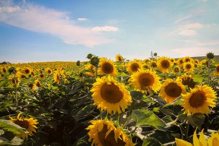Sunflowers growing in a field stretch their flower heads towards the sun. Standard-Bild