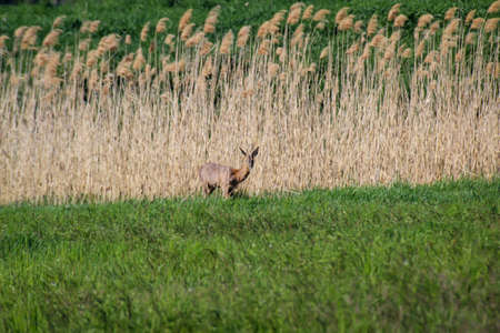 A young deer comes out of the reed belt and checks the situation.