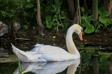 A swan in his territory a pond.