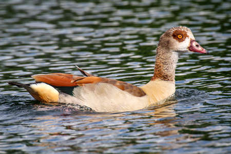 Portrait of a swimming Egyptian goose. Goose on by a pond. 写真素材