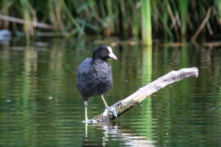 A moorhen, coot stands on a fallen tree in the pond.
