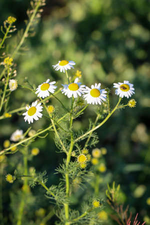 Lots of chamomile flowers on the edge of a field.