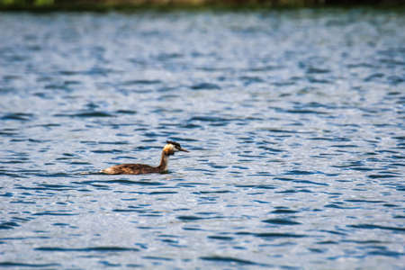 A great crested grebe swims on a pond. 写真素材