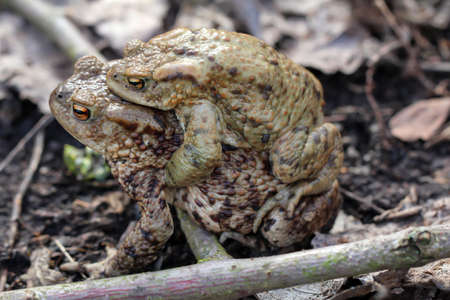 A female common toad carries her male partner. 写真素材