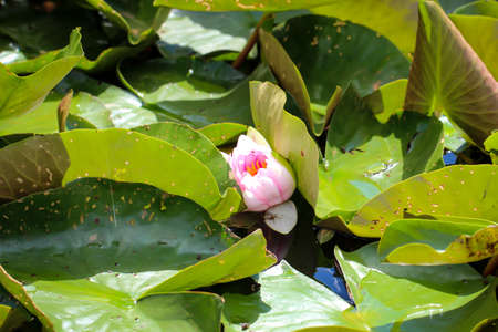 View of the bud of a water lily 写真素材