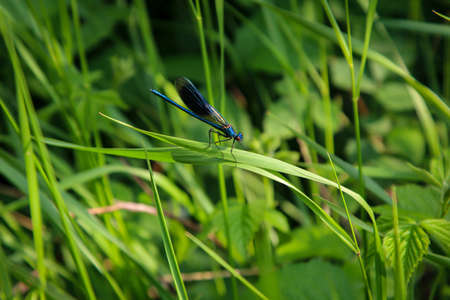 A large blue dragonfly sits hidden in the grass.