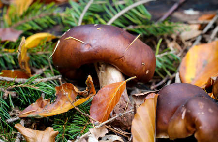 A close up of a mushroom in the autumn forest.