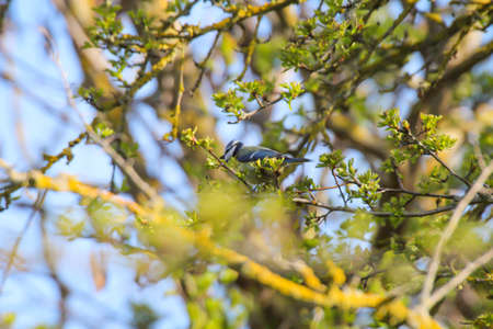 A blue tit sits between the branches of a tree that is just beginning to turn green.