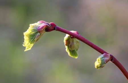 The first young, fresh shoots on the trees in spring come with all the might of nature. Standard-Bild