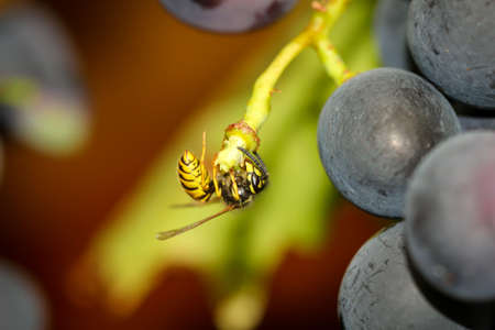 A wasp is nibbling on the remains of a fallen grape. Banque d'images