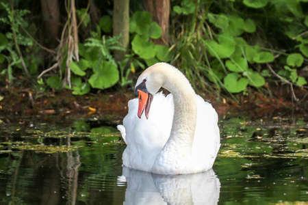 A swan on an idyllic pond.
