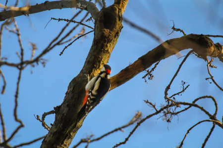 A great spotted woodpecker searches for beetle larvae under the bark of a tree.