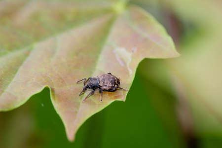 Close up of a weevil. Curculionidae belong to the beetles. Standard-Bild