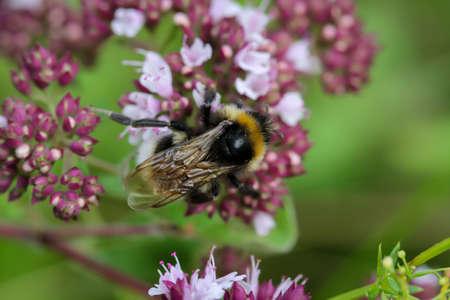 A bumblebee on a meadow flower collecting pollen. Standard-Bild