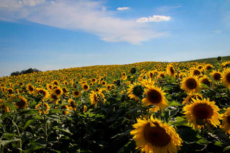 Sunflowers in a field. The seed is used to produce oil.