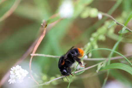The portrait of a bumblebee on a meadow plant. Standard-Bild