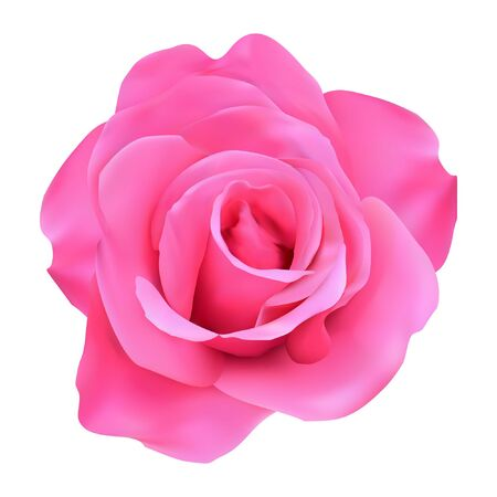 Very attractive pink rose vector. real vector of roses. Illusztráció