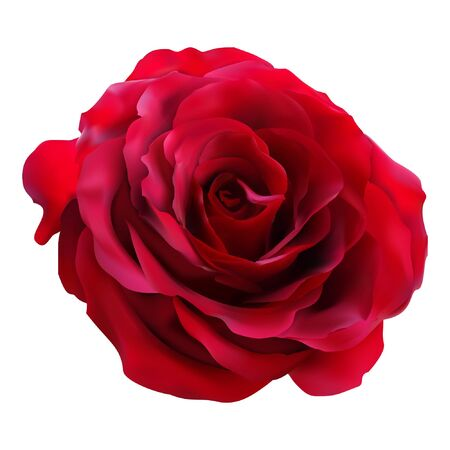 very attractive red rose vector. real vector of roses.