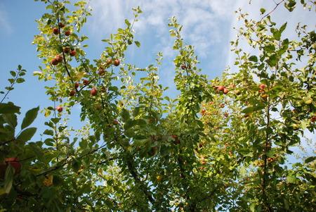 herbst: Beautiful apple tree in a garden