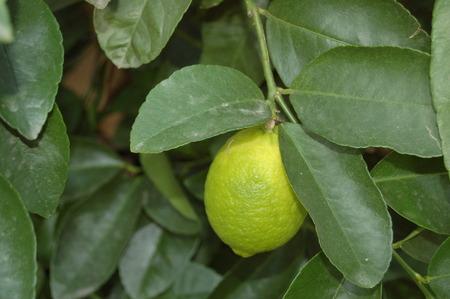 Leckere Zitrusfrucht Zitronenbaum mit frischen Zitronen Stock Photo