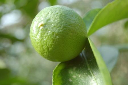 nahaufnahme: Leckere Zitrusfrucht Zitronenbaum mit frischen Zitronen Stock Photo
