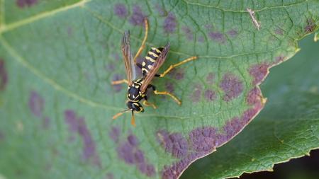 hornet on green leaf Stock Photo