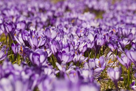 crocus flower blooming in spring in mountain meadow photo