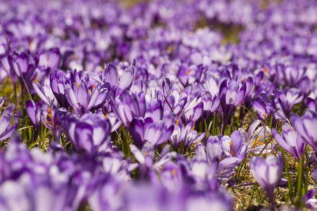 crocus flower blooming in spring in mountain meadow Stock Photo - 6808190