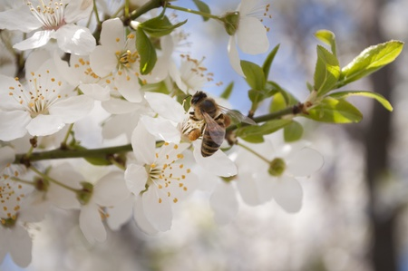 Bee on a spring blossom tree flower with nectar on photo