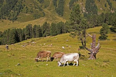 Cows on pasture in Alps, on Kaunertal Valley in Austria photo