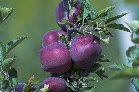 non: Red delicious apple on branch before harvest, in september month, Italy, Val din Non area