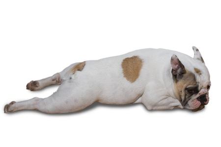 wrinkely: French Bulldog Puppy Isolated on White Background