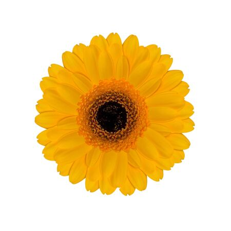 Yellow Daisy Gerber Isolated on White Background Stock Photo
