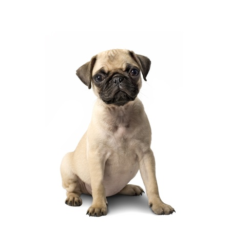 Cute Pug Puppy Isolated on White Background photo