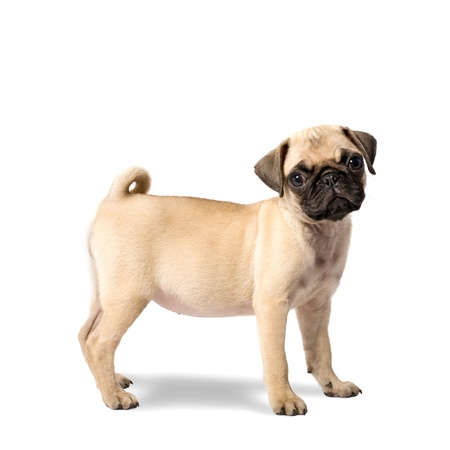 pug puppy: Cute Pug Puppy Isolated on White Background