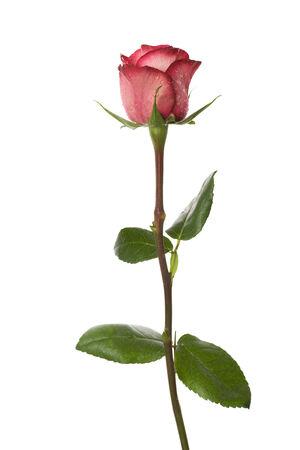rosas rojas: rosa rosa aisladas sobre fondo blanco Foto de archivo