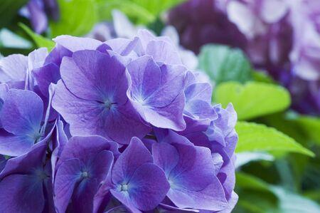 hydrangea macrophylla: Bl�te von Hydrangea macrophylla ### blossom of Hydrangea macrophylla