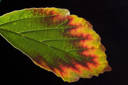 pflanze: Blatt der Hamamelis ### leaf of Hamamelis Stock Photo