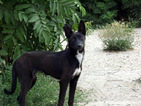 Black semi-wild dog standing on the path next to green bush, looking astonished at the photographer. (stock photo) Stock Photo