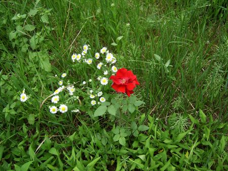Red rose and camomile flowers in green grass. Wild flowers in green field. (stock photo)