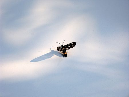 Small butterfly isolated ready to fly with the wings wide open. Black, white and orange coloured butterfly with two big antennas and shadow in a spot of light. (stock photo)