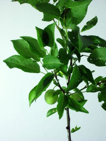 Green wax cherry tree branch with green fruits and leaves on light blue. (stock photo)
