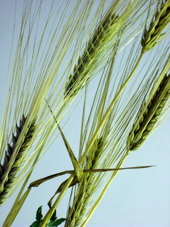 Five yellow wheat ears on blue background. (stock photo)